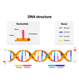 DNA structure vector image vector image