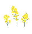 flobrassica napus rapeseed colza oil seed vector image vector image