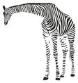 giraffe in zebra camouflage vector image vector image