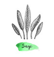 sage ink sketch vector image vector image