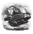 common european toad vintage vector image vector image