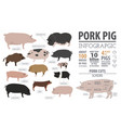 pigs hogs breed infographic template flat design vector image
