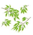 tropical plant branches ficus benjamina vector image