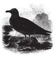 common scua vintage vector image vector image