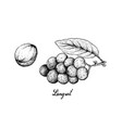 hand drawn of langsat fruits on white background vector image vector image