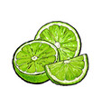 half and quarter of ripe unpeeled lime hand drawn vector image vector image