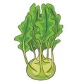 kohlrabi cabbage in green color and with foliage vector image vector image