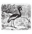 crested crane vintage vector image vector image