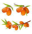sea buckthorn with leaves icos vector image vector image
