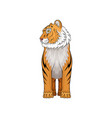 adult tiger standing isolated on white background vector image