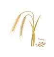 barley with leaves stems grains ingredients vector image vector image