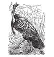 wild turkey vintage vector image