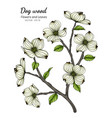 white dogwood flower and leaf drawing with line vector image vector image