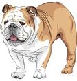 dog English Bulldog breed vector image vector image