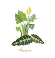 tropical plants with leaves beautiful alocasia vector image