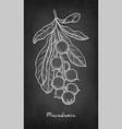 chalk sketch of macadamia vector image vector image