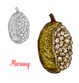 marang terap or johey oak exotic fruit sketch vector image vector image