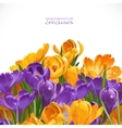 Spring yellow and violet crocuses background vector image vector image