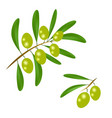 branch with green olives and leaves to decorate vector image vector image