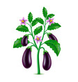 growing eggplant isolated on white vector image vector image