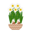 narcissus bloom in a ceramic pot white background vector image vector image