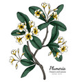 plumeria flower and leaf drawing with line art vector image vector image