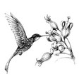hummingbird in flight drawing vector image vector image