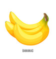ripe bananas bunch exotic fruit on vector image