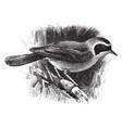 common yellowthroat vintage vector image vector image