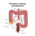 digestive process in humans vector image vector image