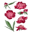 Peony flowers llustration set vector image