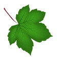 image of realistic green maple leaf isolated on vector image vector image