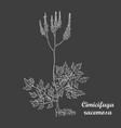 white chalk hand drawn bush of actaea racemosa vector image