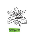oregano hand drawn vector image