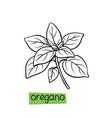oregano hand drawn vector image vector image