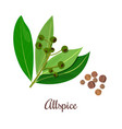 blossoming allspice with seeds vector image vector image