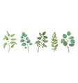 eucalyptus plants rustic foliage branches and vector image