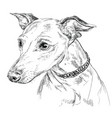 italian greyhound hand drawing portrait vector image vector image