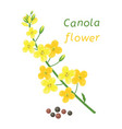 canola flower and rapeseeds vector image