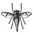 female horse fly estrus equi vintage vector image vector image