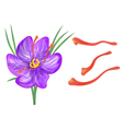 saffron with flower vector image vector image