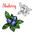 blueberry sketch fruit berry icon vector image