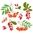 branch of ashberries and barberries isolated on vector image vector image