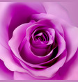 square background with violet realistic rose vector image