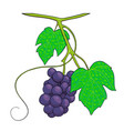 bunch of grapes hand drawn stock vector image