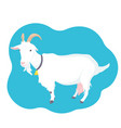 goat with horns udder and bell on the neck farm vector image vector image