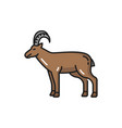 horned domestic animal alpine swiss goat with horn vector image