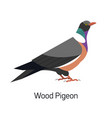 common wood pigeon or culver isolated on white vector image vector image