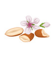 Raw peeled almond and bloomed flower isolated