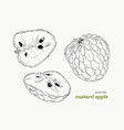 sugar-apple hand drawn set vector image vector image